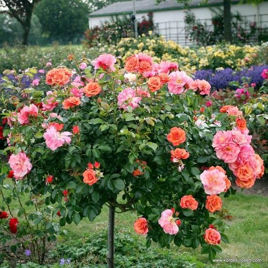 Růže Aprikola