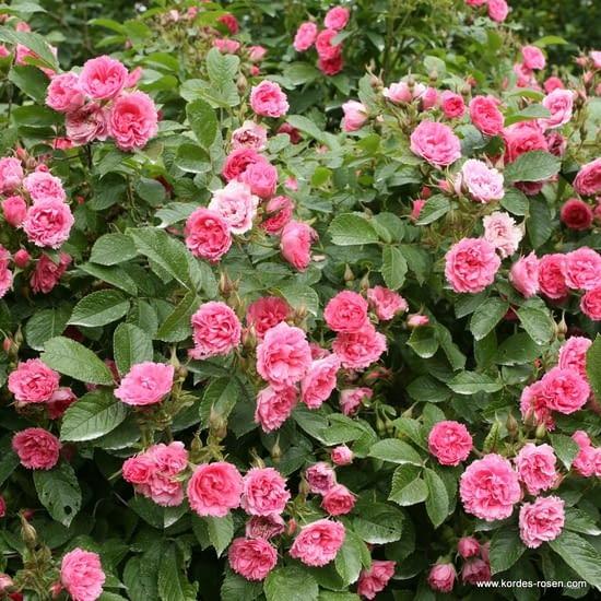 Růže F J Grootendorst