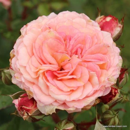 Růže Amaretto