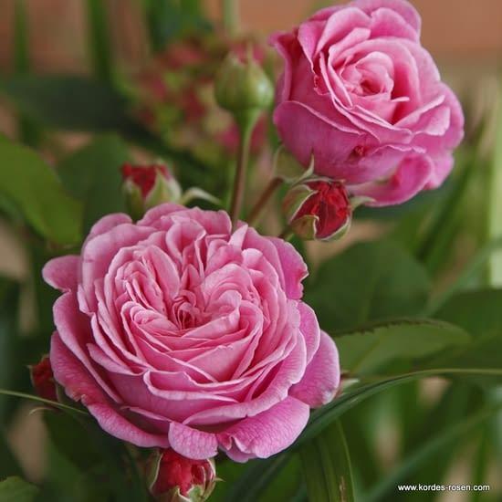 Růže Rosengräfin Marie Henriette