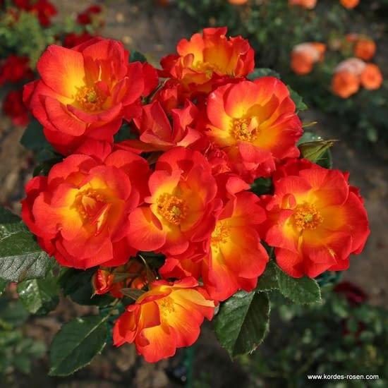 Růže Summer of Love