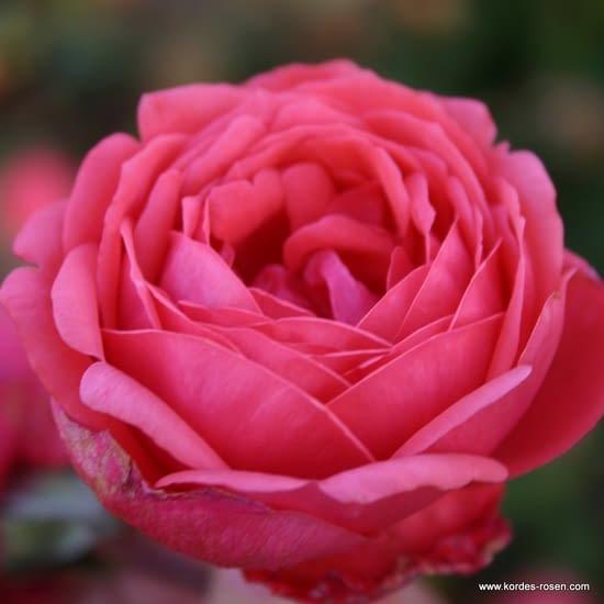 Růže Gartenprinzessin Marie-José