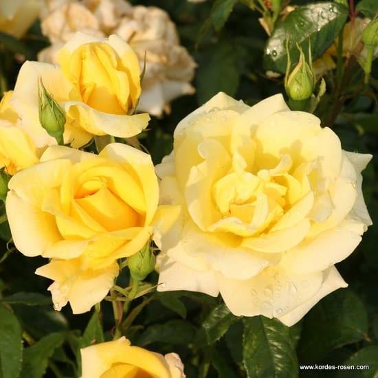 Růže Berolina