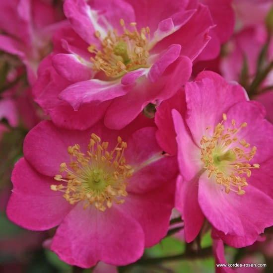 Růže Lupo