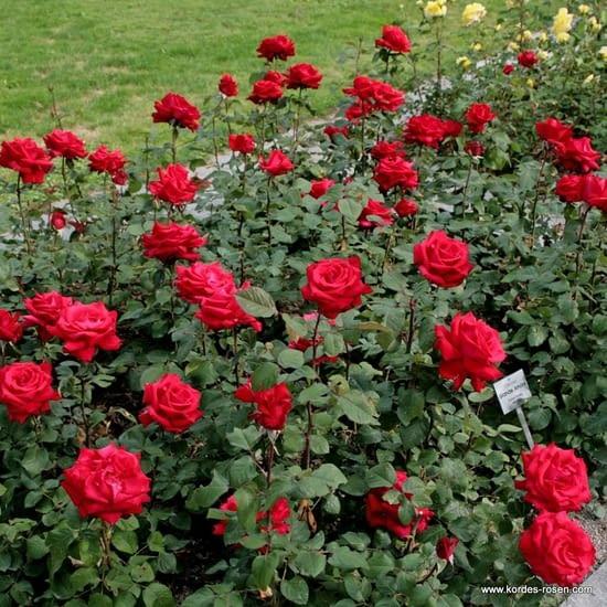 Růže Grande Amore