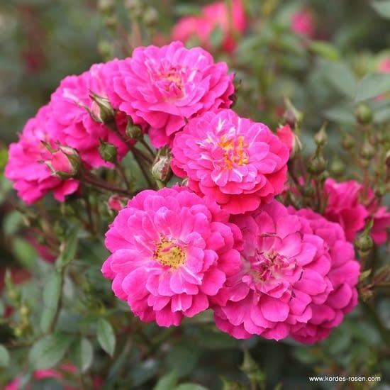 Růže Purple Rain