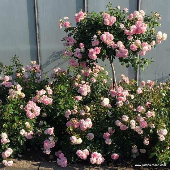 Růže Larissa