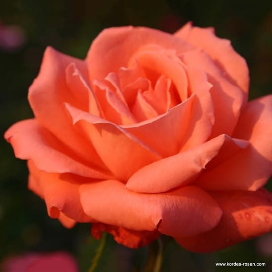 Růže Hamburger Deern