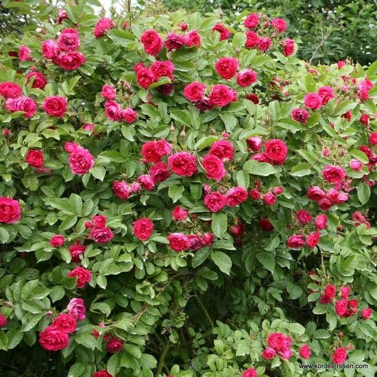 Růže Pink Grootendorst