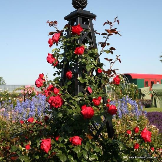 Růže Florentina