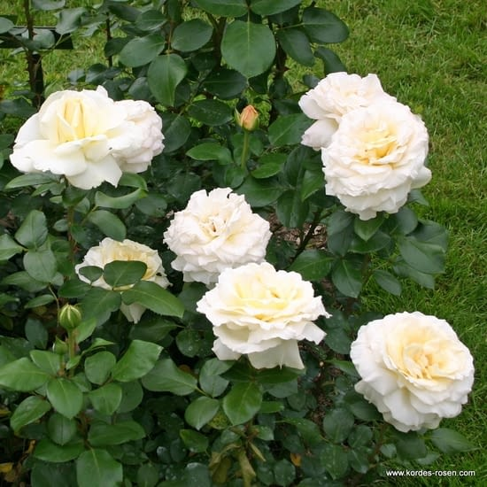 Růže La Perla