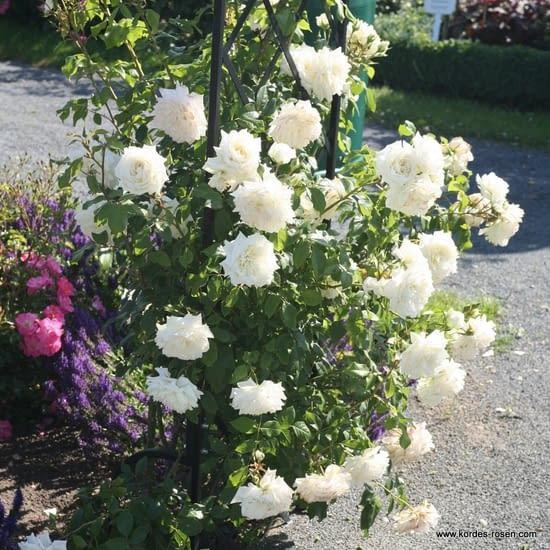 Růže Alaska