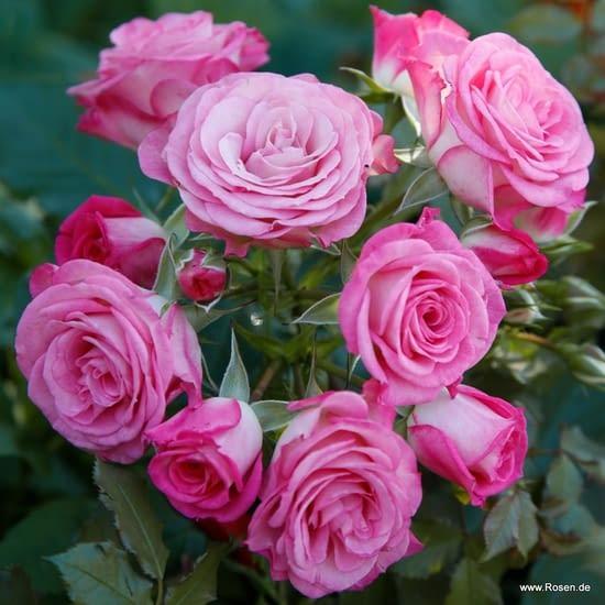 Růže Xenia