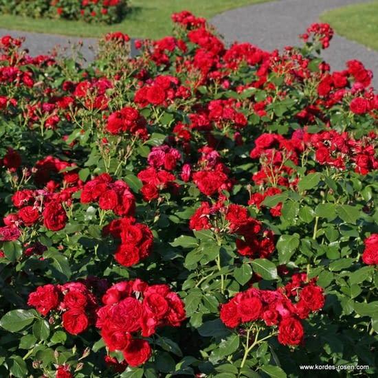Růže Rotkäppchen