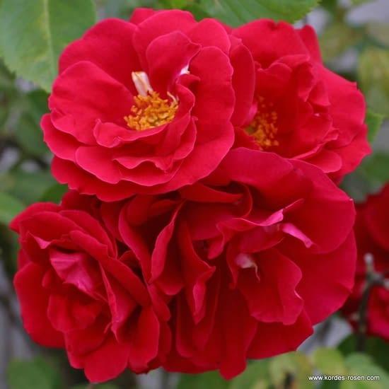 Růže Flammentanz