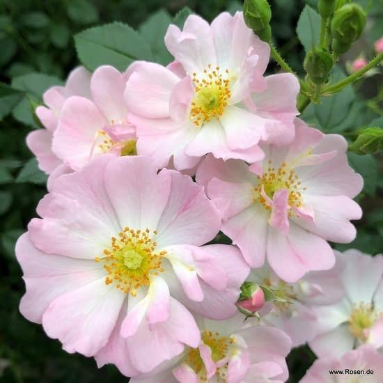 Růže Sternenhimmel