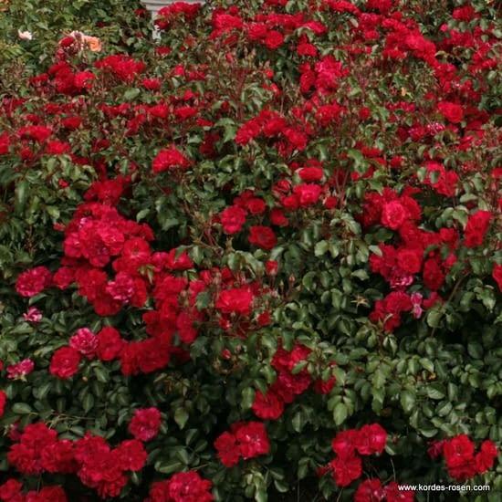 Růže Rotilia