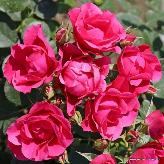 Růže Pink Forest Rose