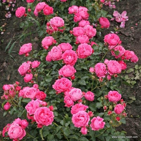 Růže Moin Moin