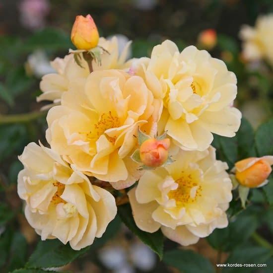 Růže Sunny Siluetta