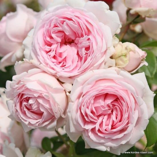 Růže Wellenspiel