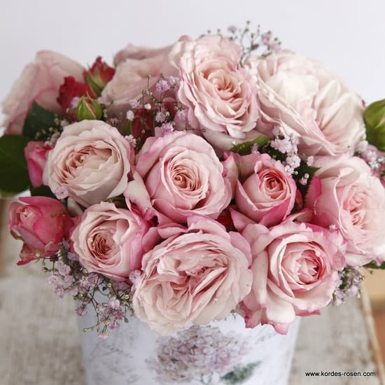 Růže Rosenfaszination