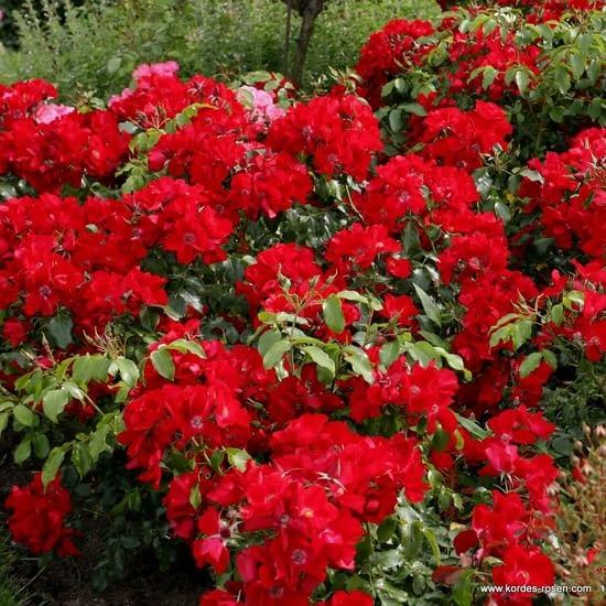 Růže Apache