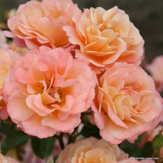 Růže Cubana