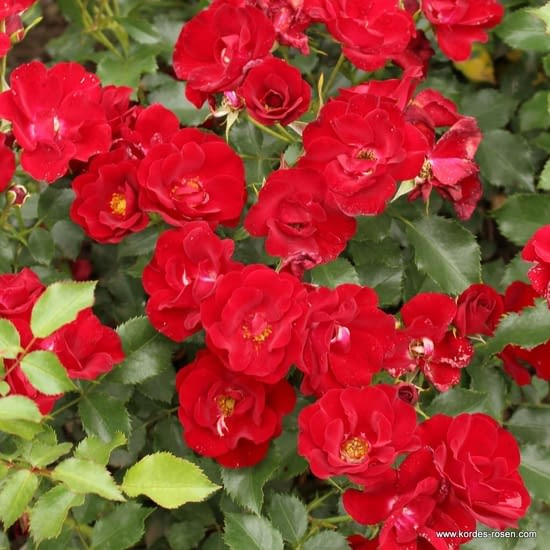 Růže Marondo