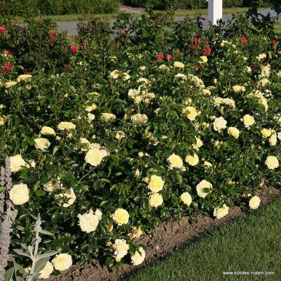 Růže Solero