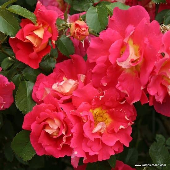Růže Bajazzo