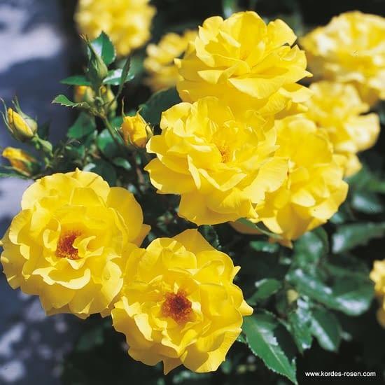 Růže Friesia