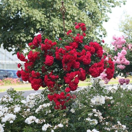 Růže Gärtnerfreude