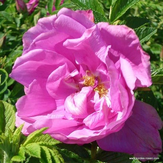 Růže Pink Roadrunner