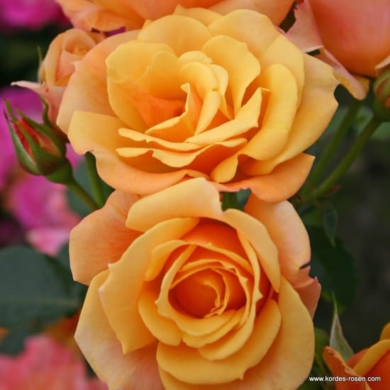 Růže Lusatia