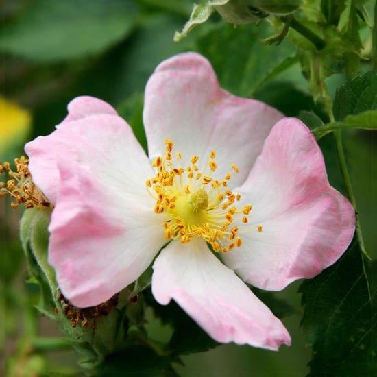 Růže Canina