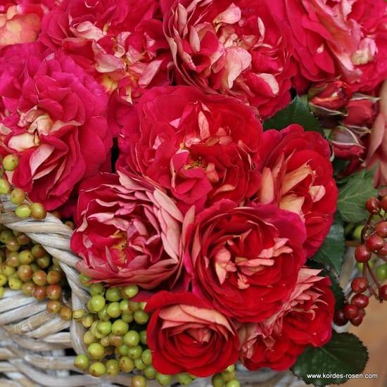 Růže Die Sehenswerte