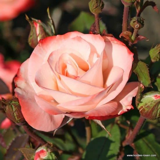 Růže Auf die Freundschaft