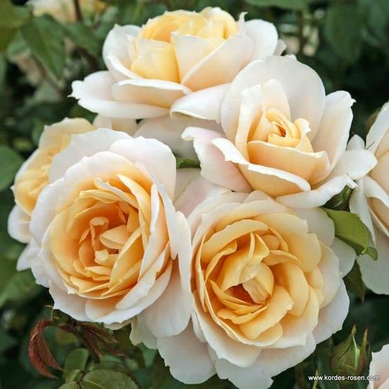 Růže Lions Rose