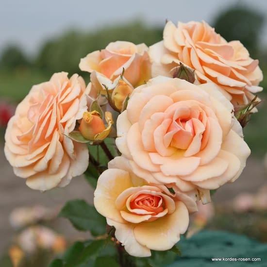 Růže Sweet Honey