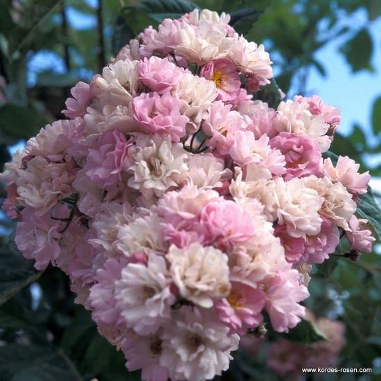 Růže Bonny
