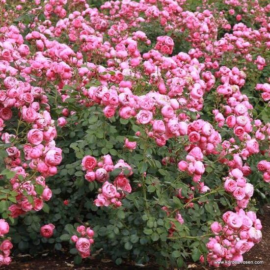 Růže Pomponella