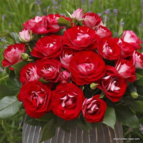 Růže Rose der Einheit