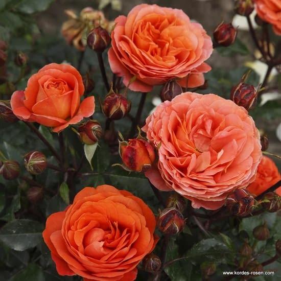 Růže Phoenix