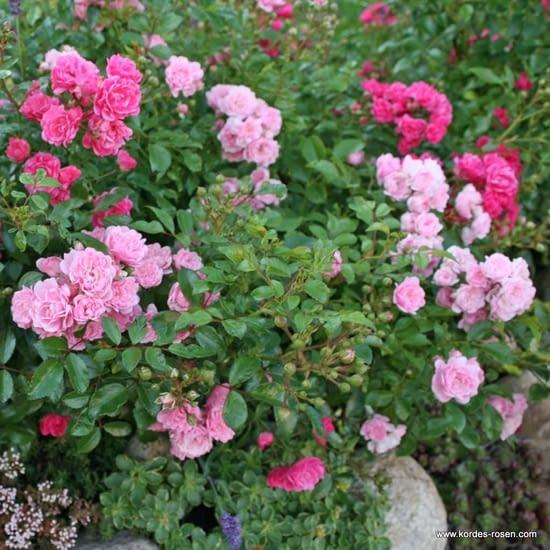 Růže The Fairy