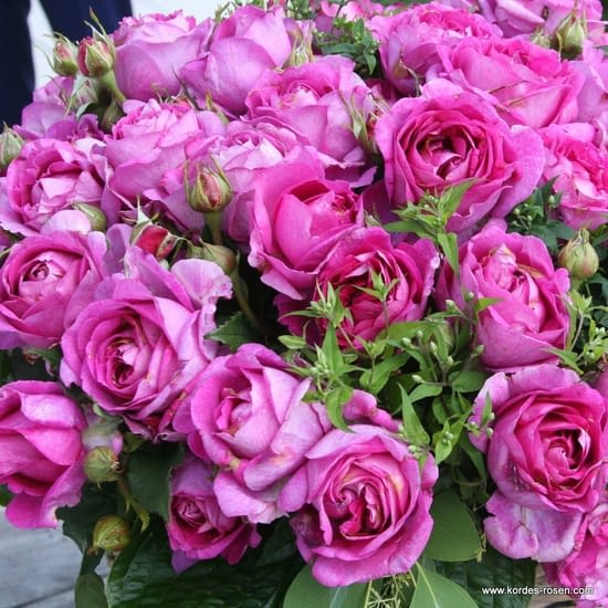 Růže Carmen Würth