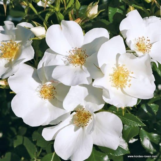 Růže Escimo