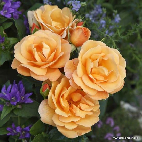 Růže Portorož