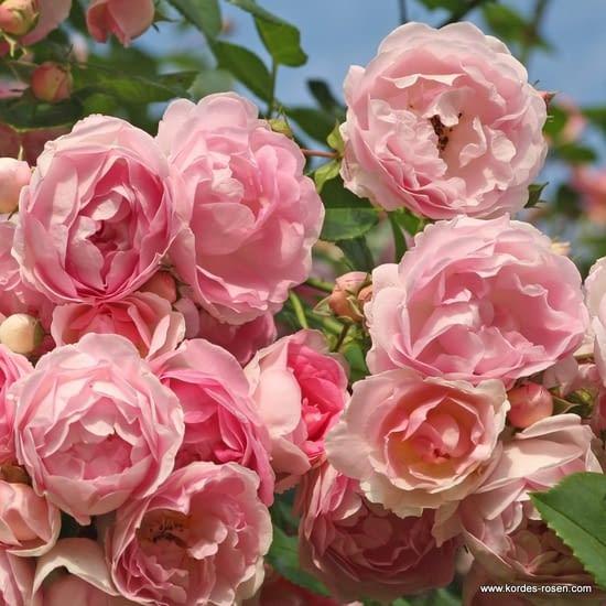 Růže Jasmina