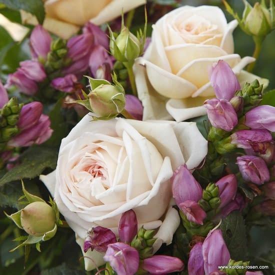 Růže Madame Anisette